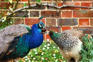 peacock-573411_1920