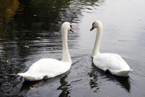 swan-1165870_1920